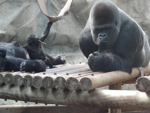 Gorilles en famille