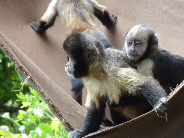 Capucins à épaules blanches